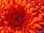 thumb_hosting_zdjec_1353020639__chrysanthemum.jpg